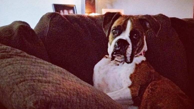 """Izzy,""is a nine year old Boxer. Photo by: Lindsay Stafford"