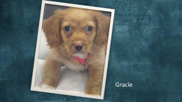 Gracie, a 10-week old Shih Tzu/Dachshund Mix.