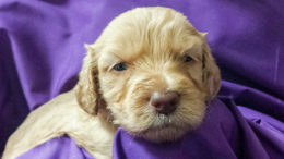 One of Meadow Park's Labradoodle Puppies. Photo provided.