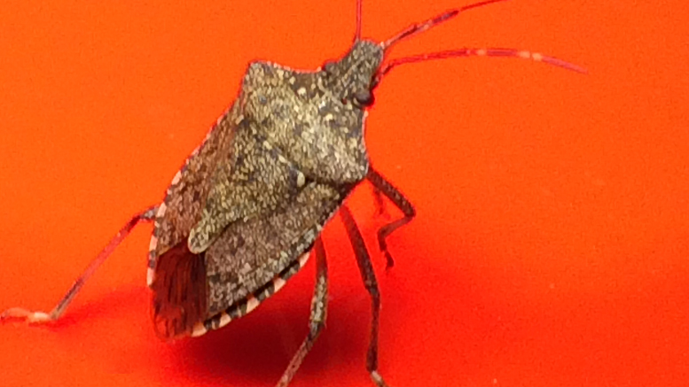 Insolent stinkbugs defy human domination. Photo by: Nancy Carlson