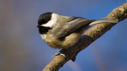 A Carolina Chickadee at Mounds State Park, taken by local Audubon member Robert Williams.