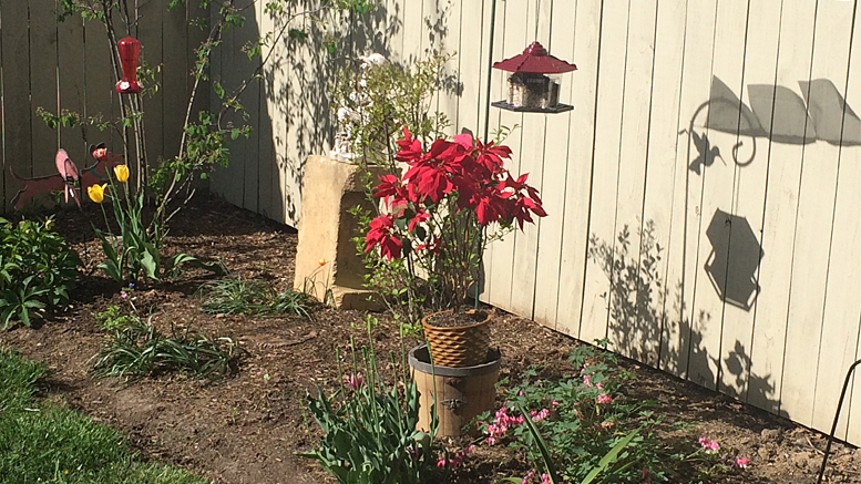 Joy blooms in backyard corner. Photo by: Nancy Carlson