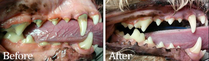 A before and after photo of a teeth cleaning procedure at Care Animal Hospital. Photo provided.