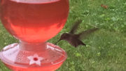 Should hummingbirds cool it with all that sugar juice? Photo by: Nancy Carlson