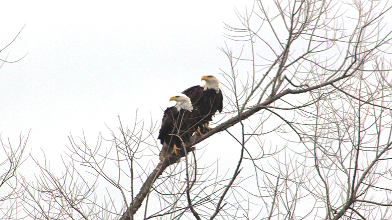 A beautiful pair of bald eagles stare off into the distance. Photo by: David Ray Smith